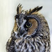 Long-eared Owl by annkelliott