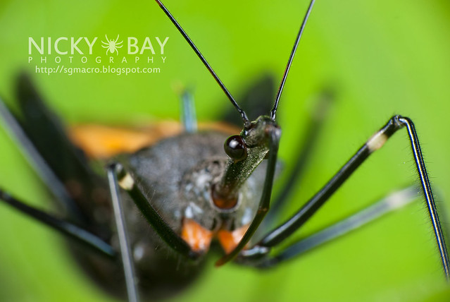 Assassin Bug (Reduviidae) - DSC_1385