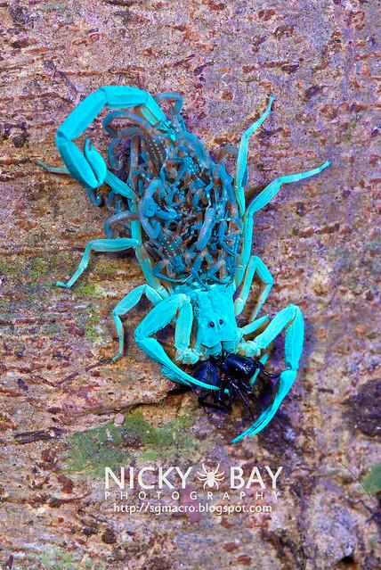Scorpion (Lychas scutilus?) - DSC_8982