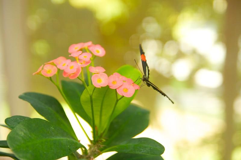 butterfly  2247