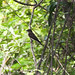 Small photo of Alder Flycatcher (Empidonax alnorum)