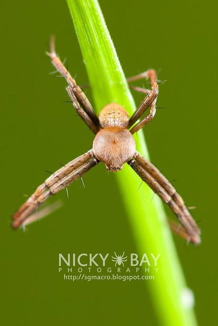 Male Orb Weaver (Argiope sp.) - DSC_7911