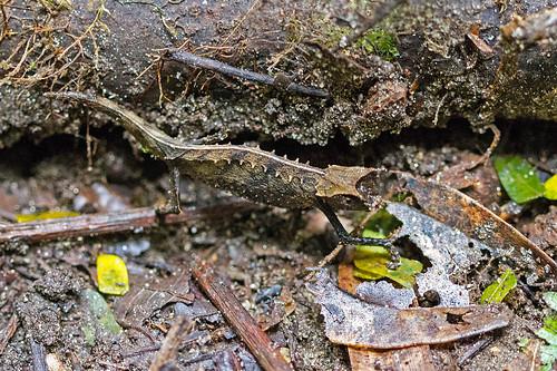 Brocesia (Leaf Chameleon)