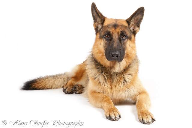 german shepherd standard standard german shepherd flickr photo sharing 1850