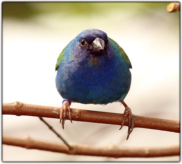 Forbes Parrot Finch