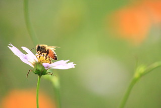 Bee on a cosmos flower / コスモスに蜂
