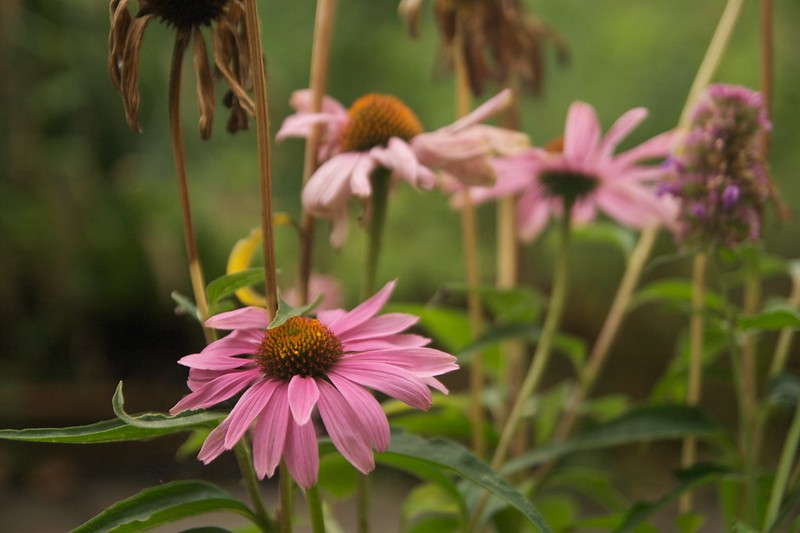 echinacea purpurea  2277