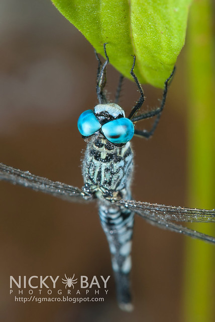 Dragonfly (Anisoptera) - DSC_5282