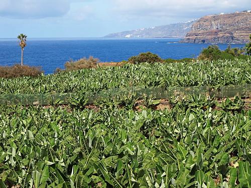 banana plantations Tenerife