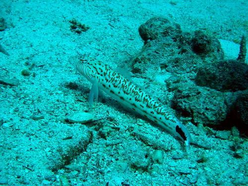 Perche de sable de Plongez-Pépère, sur Flickr