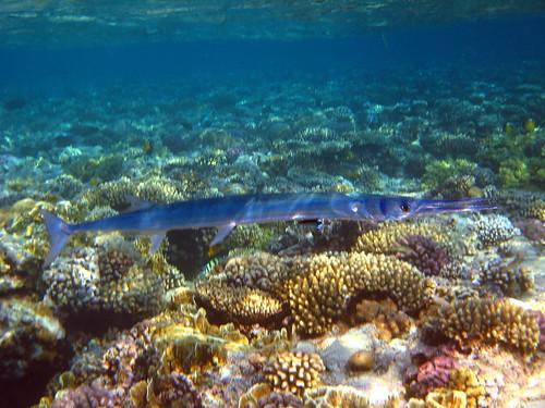 Aiguille voyeuse de Mer Rouge de Plongez-Pépère, sur Flickr