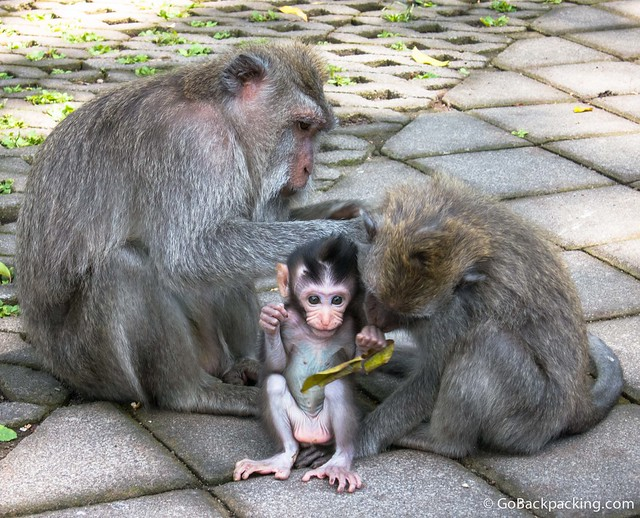 A baby monkey at the Monkey Forest in Ubud