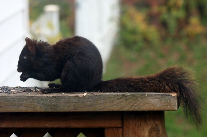 Black Squirrel_7859