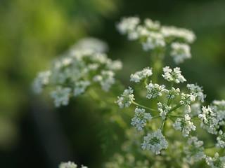 Poison hemlock, Conium maculatum (Apiaceae)