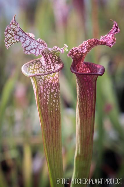"Sarracenia leucophylla ""Burgundy"""