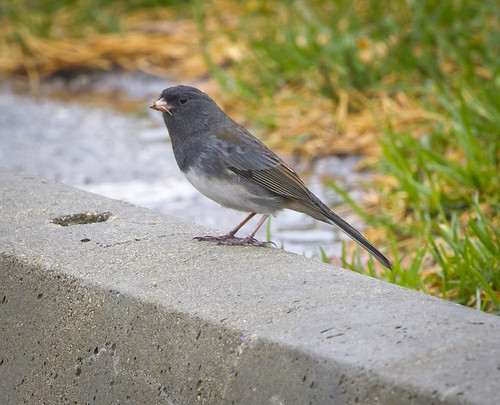 Dark-eyed Junco by Ricky L. Jones Photography