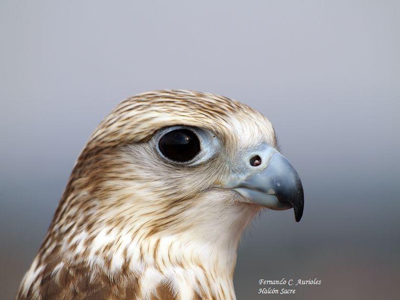 Falcon....