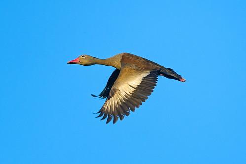[フリー画像素材] 動物 2, 鳥類, 鴨・カモ, アカハシリュウキュウガモ ID:201211010400
