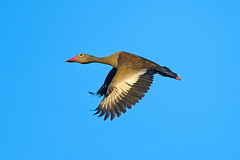 [Free Images] Animals 2, Birds, Ducks, Black-bellied Whistling Duck ID:201211010400