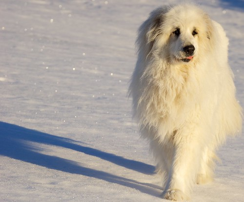 winter dogs nature animals season time personal fiona greatpyrenees stockcategories 70300mmf4556gssm