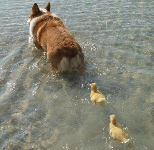 dog ducklings