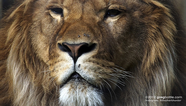 The Lions at Wingham Wildlife Park