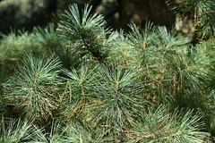Pinus koraiensis (Korean Pine)