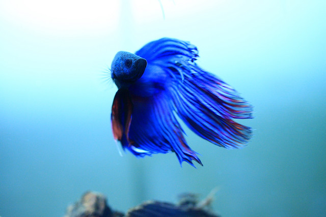 betta-by-flag75
