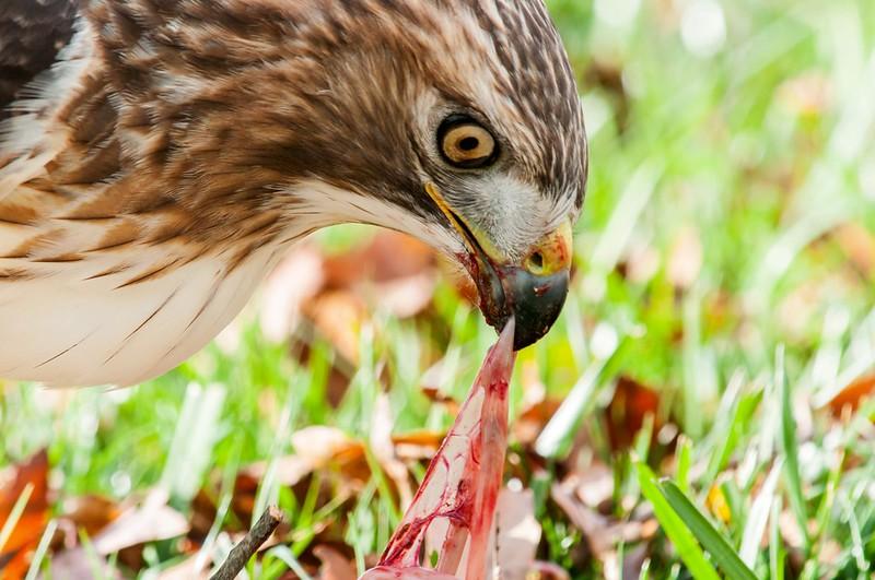 RT Hawk - Rabbit for Breakfast