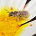 Halictus (Vestitohalictus) concinnus f by terraincognita96
