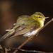 Greenish Leaf Warbler
