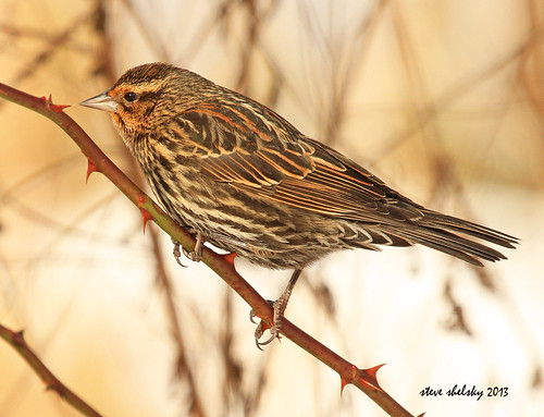 winter bird female perch avian redwingedblackbird agelaiusphoeniceus