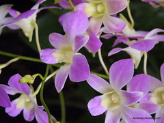 flower, purple, plant, laelia, flora, petal,