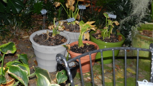 Don Rawson's Hostas