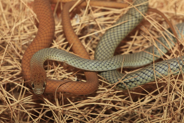 Yellow-faced Whip Snake (Demansia psammophis), Alice