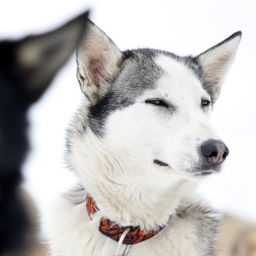 [フリー画像素材] 動物 (哺乳類), 犬・イヌ, シベリアン・ハスキー ID:201301311000