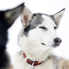 [Free Images] Animals (Mammals), Dogs, Siberian Husky ID:201301311000