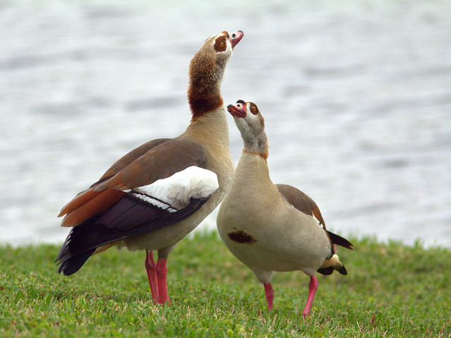 Egyptian Geese courting 20130131