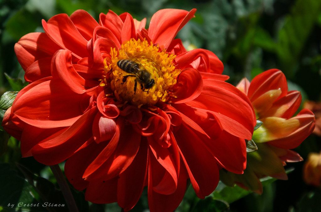 Dahlias, Botanical Garden Iasi