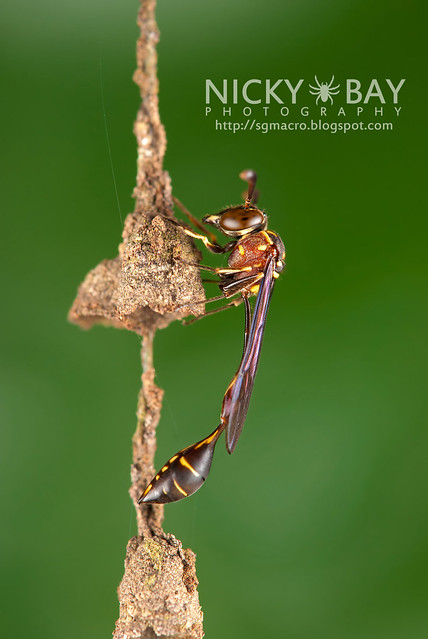 Wasp (Apocrita) - DSC_7553