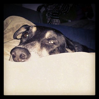 Napping with Tut #rainyday #dogs #hound #mutt #rescue #adoptdontshop #instadog