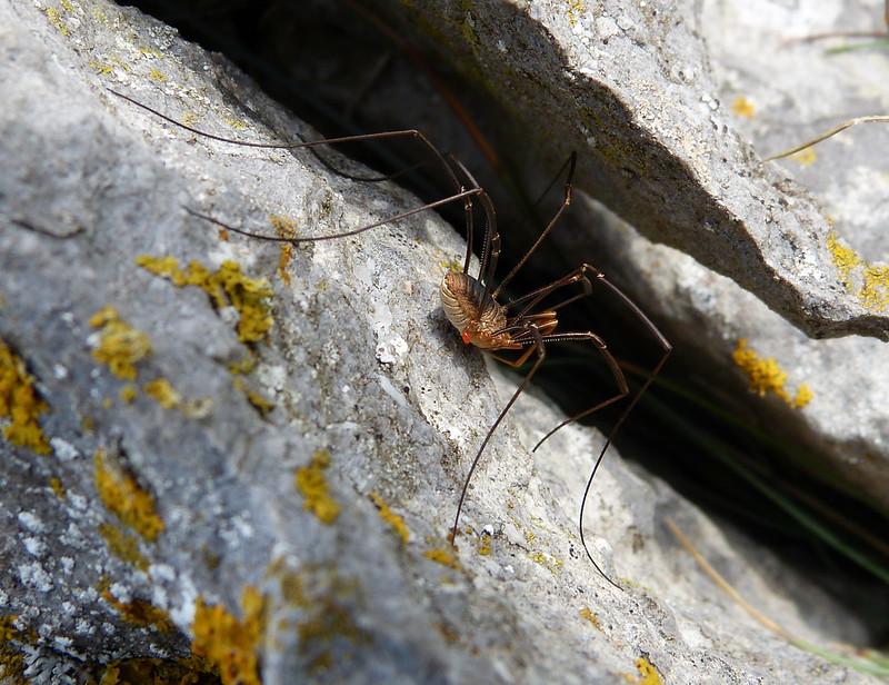 28889 - Harvestman Spider, Mewslade