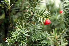 evergreen, shrub, flower, branch, tree, taxus baccata, plant, subshrub, flora, spruce,