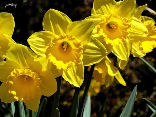 Daffodils Rydal by pat.bluey
