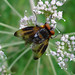 Phasia - Photo (c) gailhampshire, some rights reserved (CC BY)