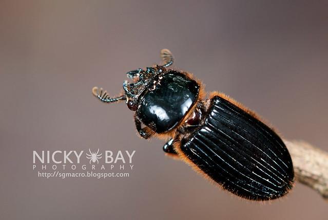 Bess Beetle (Passalidae) - DSC_5359
