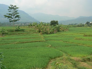 Sawahs surrounding Bogor (Java, Indonesia 2009)
