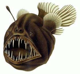 鮟鱇魚生活在黑漆漆的深海,演化出獨特的掠食方式,頭頂的「釣竿」會產生發光菌,引誘獵物上鉤。