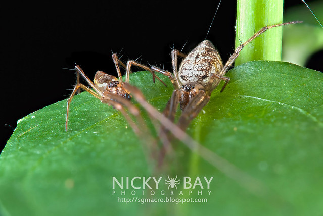 Big-Bellied Tylorida Spiders (Tylorida ventralis) - DSC_3750