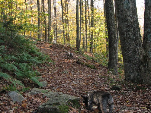 autumn dogs animals vermont cairnterriers